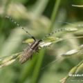 Scheckhorn-Distelbock - Nesselbock - Linienhalsiger Halmbock (Agapanthia villosoviridescens)