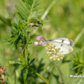 Aurorafalter (Anthocharis cardamines)