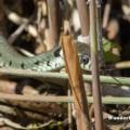 Ringelnatter (Natrix natrix) im Uferbereich