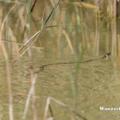 Schwimmende Ringelnatter (Natrix natrix)