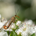 Deutsche Skorpionsfliege (Panorpa germanica)