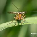 Gemeine Skorpionsfliege (Panorpa communis)