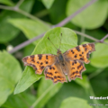 C-Falter - comma - Polygonia c-album