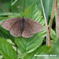 Brauner Waldvogel - Schornsteinfeger - Ringlet - Aphantopus hype