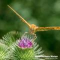 Kaisermantel - Silver-washed fritillary - Argynnis paphia
