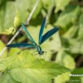 Blauflügel-Prachtlibelle (Calopteryx virgo) - Männchen