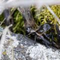 Feldgrille (Gryllus campestris)