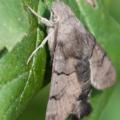 Taubenschwänzchen (Macroglossum stellatarum)