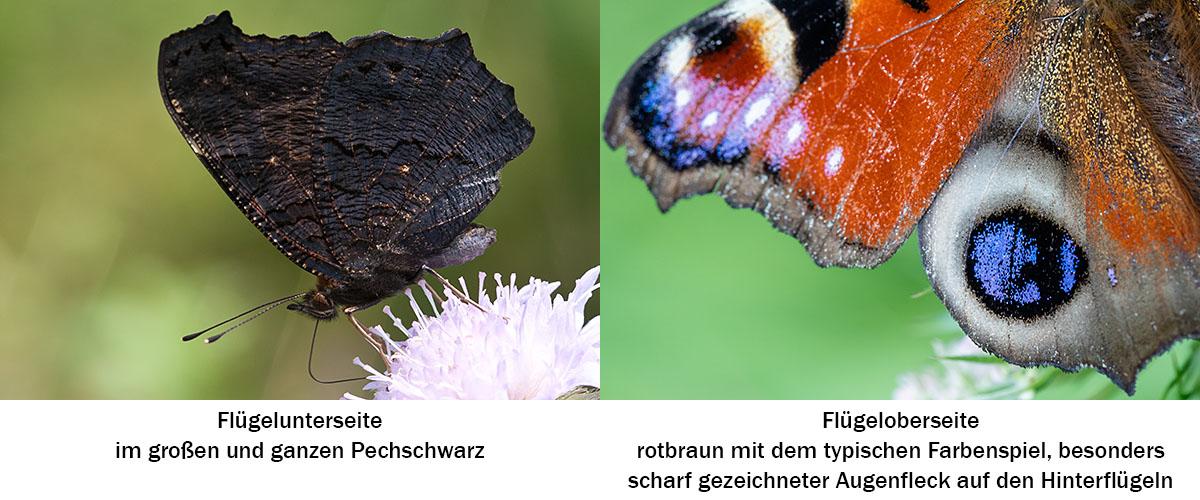 Tagpfauenauge (Aglais io) Merkmale