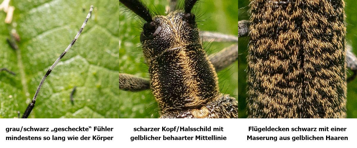 Scheckhorn-Distelbock-Merkmale