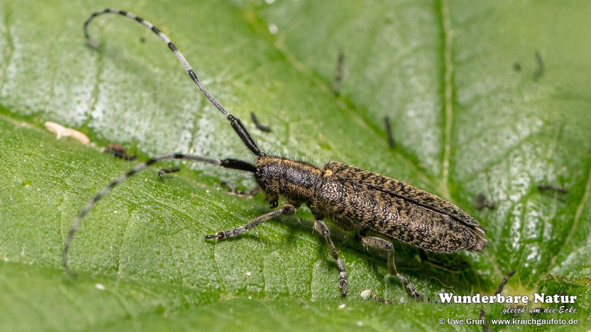 Scheckhorn-Distelbock (Agapanthia villosoviridescens)