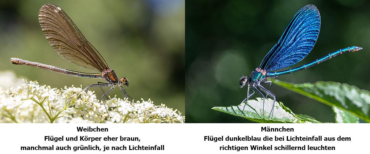 blaufluegel-prachtlibelle-merkmale