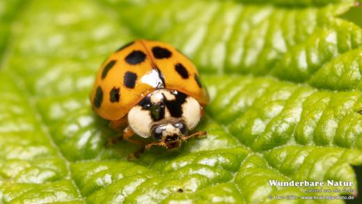 Asiatischer Marienkäfer (Harmonia axyridis)